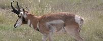 Pronghorn Antelope Hunting